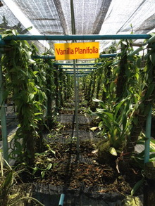 Phuket Orchid Farm Orchid Sales Exports Tours Jewellery